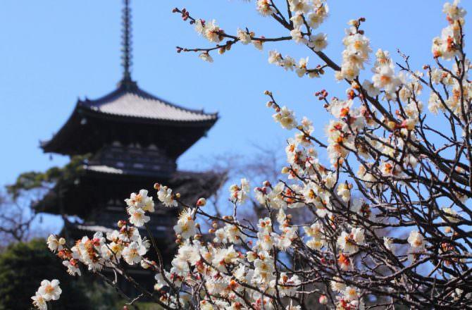 【神奈川縣旅遊】賞櫻季前先賞梅吧!神奈川賞梅景點推薦!