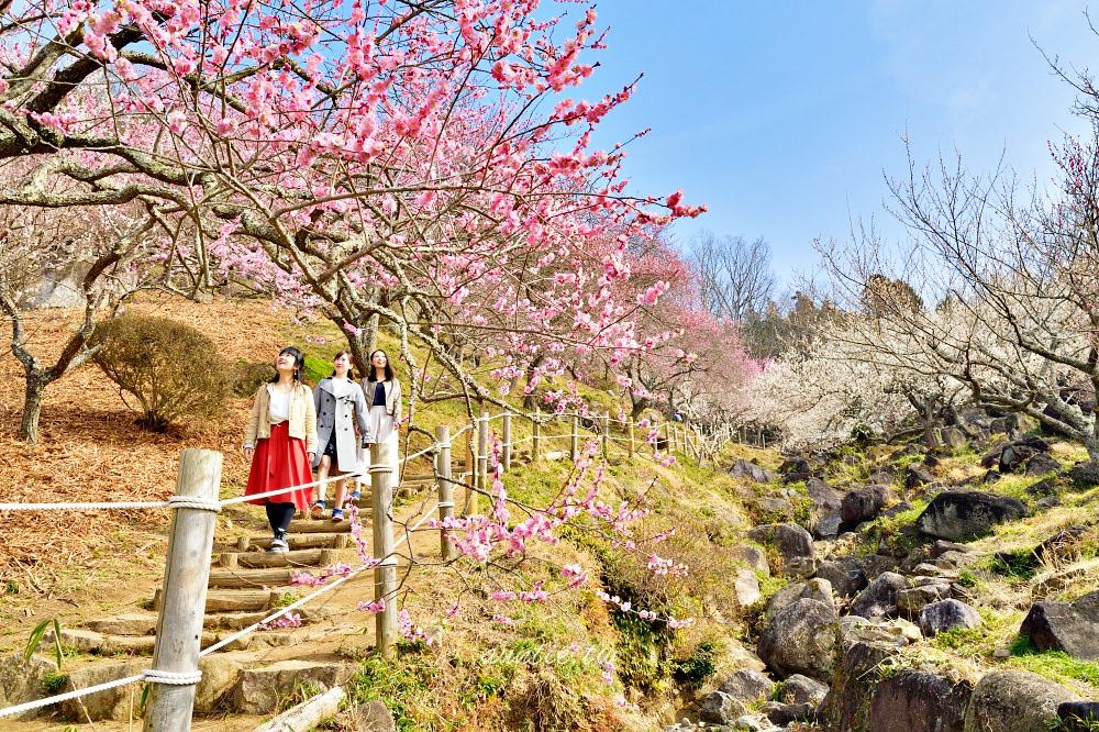 【茨城觀光】2020年來去茨城賞梅去!春季茨城縣梅花祭