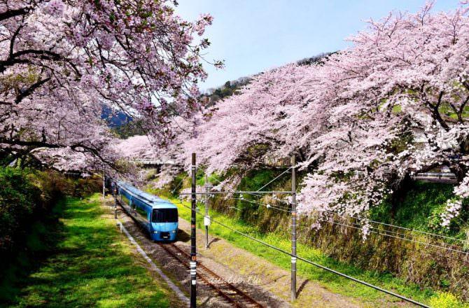 【神奈川旅遊】春天到了賞櫻去!神奈川縣 賞櫻名勝5選
